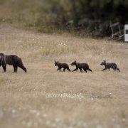 Cronache da Villalago: arriva nonna Gemma… a dar manforte a Orsa Annamaria nella gestione dei 4 cuccioli (video)