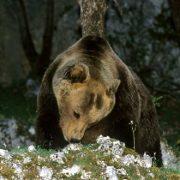 Orso getta a terra un carabiniere che passeggia di notte nel bosco