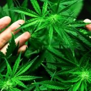 Sentenza storica assolve Walter De Benedetto: coltivava marijuana a scopo terapeutico